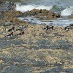 oystercatchers at prisk cove