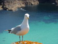 gull on the coast path cornwall